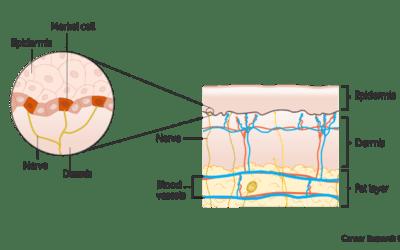 Merkel Cell Carcinoma (MCC)